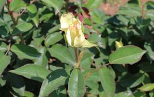 ジョン・エフ・ケネディの花形は剣弁高芯咲きです