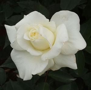 ジョン・エフ・ケネディはハイブリッドティー系統のバラ