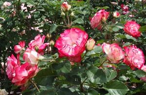 ジュビレ・デュ・プリンス・ドゥ・モナコの花形は半剣弁カップ咲き