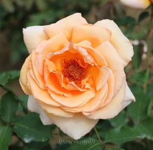 ジャスト・ジョーイは四季咲き性