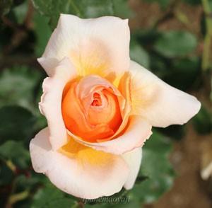 ジャスト・ジョーイの花形は丸弁抱え咲きです