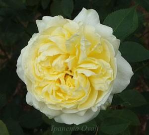 快挙は開花するとまるでイングリッシュローズのような花形になる
