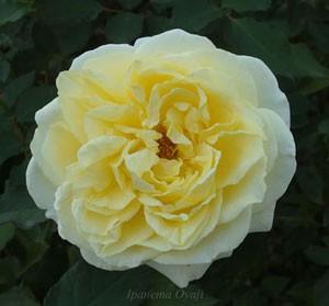 快挙は四季咲き性で大輪のバラ