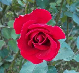 乾杯は半剣弁高芯咲きのバラ