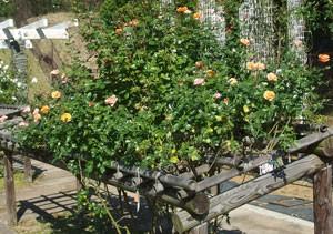 固定ページ バラの栽培