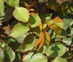 葉は明緑色の照り葉です