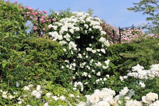 春の横浜イングリッシュガーデンの風景です