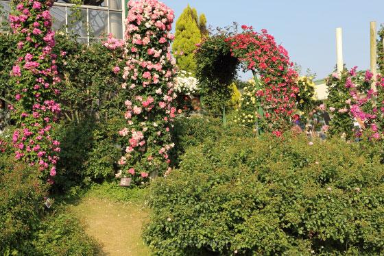 春の京成バラ園のつるバラが元気な風景