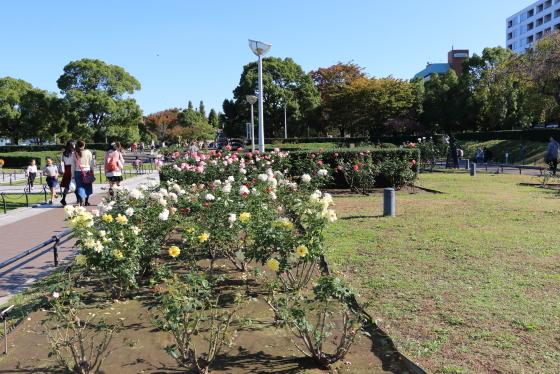 横浜の山下公園・バラ園の風景