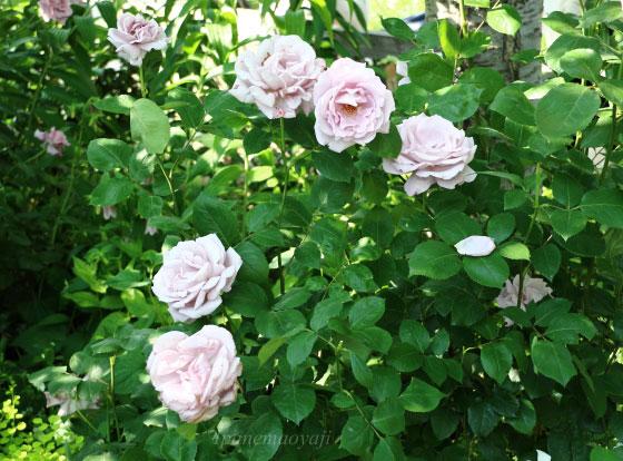 ブルー ムーンはブルー系のバラとしては強健な品種です