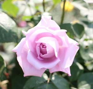ブルー ムーンは四季咲き品種です