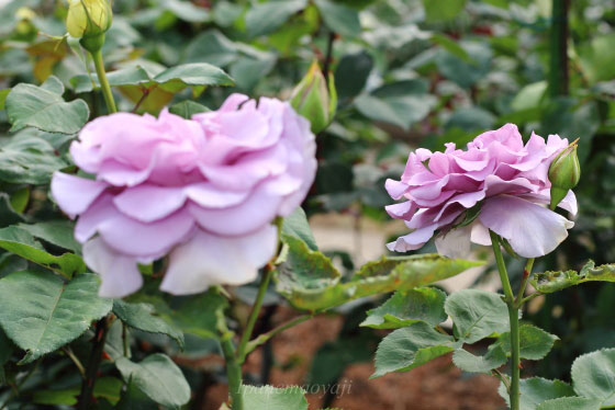 ブルー ムーンは花色がブルー系の品種です