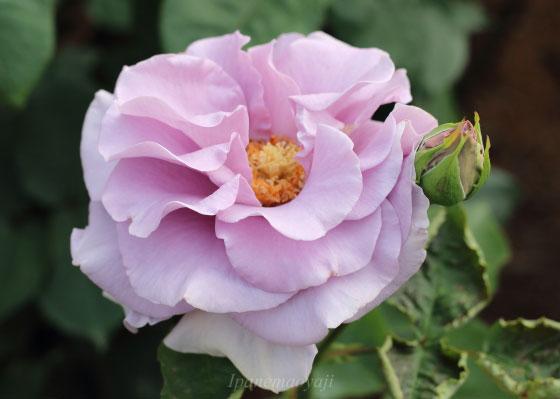 ブルー ムーンはハイブリッドティー系統のバラです