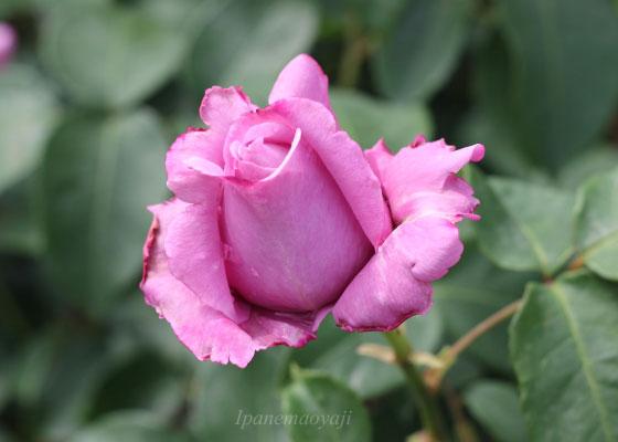 ブルー ムーンは半剣弁高芯咲きです