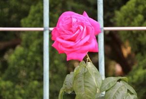 つる マリア カラスは返り咲き品種です