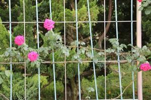 つる マリア カラスの枝は250cm以上にも伸長する