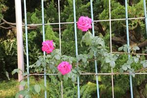 つる マリア カラスの花形は半剣弁高芯咲きです