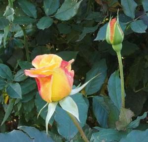 栄光は花首が長くトゲが少ないバラ