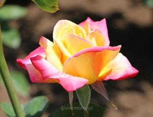 栄光は花色が黄色です、開花すると弁端に濃いピンク色に染まります