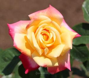 栄光はバランスのよい美しい花形のバラ