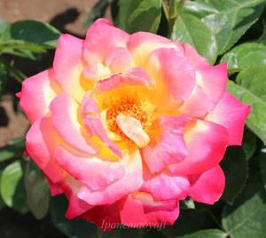 栄光の花弁は黄色よりローズ色の方が多い