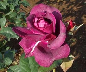 イントリーグの花形は半剣弁抱え咲きです