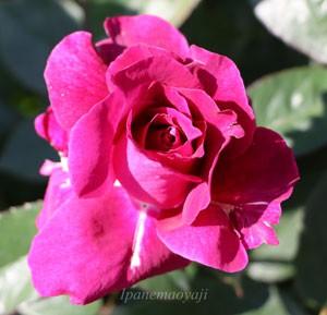 イントゥリーグはフロリバンダ系統のバラ