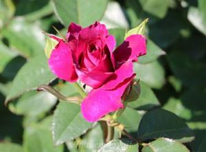 7cm程の花弁には17~25枚の花弁数