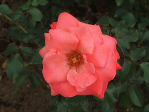 アイリッシュ ミストはフロリバンダ系統のバラ