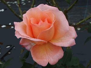 花音は開花するとサーモンピンク色の大輪サイズ