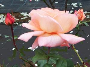 巨大輪だけに一枚一枚の花びらが大きく花もちはよくない