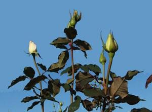 感謝の樹高は約140cmで直立性です