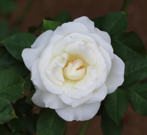 感謝の花形は半剣弁高芯咲きで花径は12cm位です