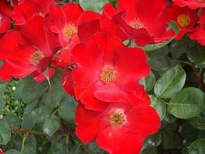 かざぐるまの花径は7cm前後です