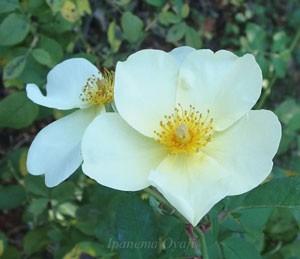 白色の花弁の中心にある雄シベがレモン色になります