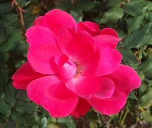 ノック アウトは花径約8cmの中輪サイズです