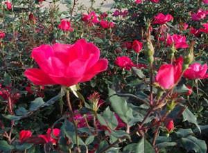 ノック アウトは四季咲きです