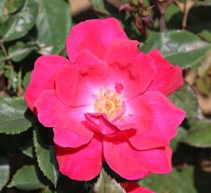 ノック アウトはローズ色を帯びた赤色のバラ