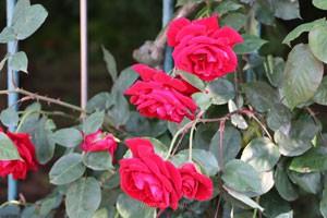 コモドーレは小型のつるバラです