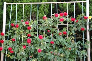 コモドーレは春の花後も繰り返し咲き続けます