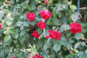 コモドーレは房咲きになって枝垂れ気味に咲きます