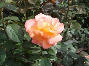 ケニギン ベアトリックスは四季咲き性です