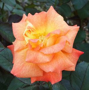 ケニギン ベアトリックスの花径は11cmです