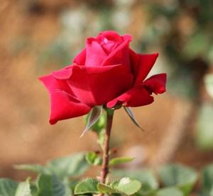 コンラッド・ヘンケルは1輪咲きで花もちがよい
