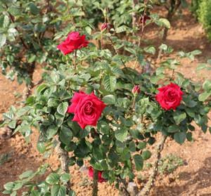 コンラッド・ヘンケルは四季咲き性です