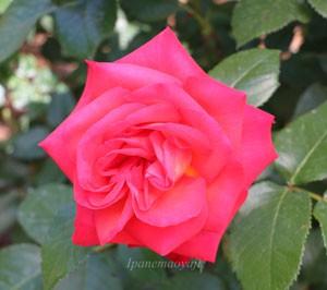 光彩は四季咲き性のバラです