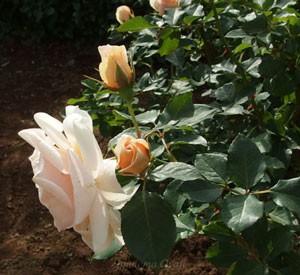 琴音の花径は約9cmの中大輪花です