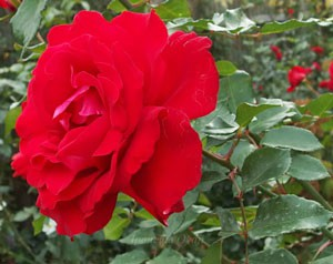 ラ マルセイエーズは半権弁高芯咲きのバラ