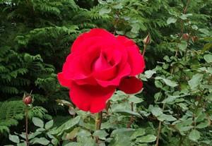 ラ マルセイエーズは花枝が長く切り花に適しています