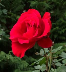 ラマルセイエーズは数少ない真紅のバラ